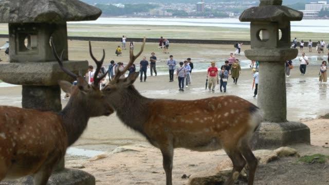 deer looking for food on miyajima island at low tide after rain, japan - bassa marea video stock e b–roll