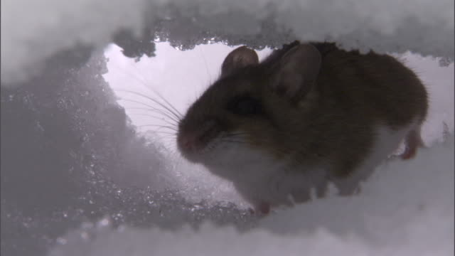 Deer mouse (Peromyscus maniculatus) in tunnel under snow, Yellowstone, USA