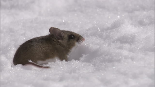 vídeos y material grabado en eventos de stock de deer mouse (peromyscus maniculatus) runs away on snow, yellowstone, usa - roedor