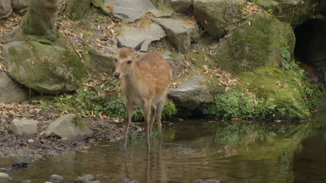 deer of nara park - nara prefecture stock videos and b-roll footage