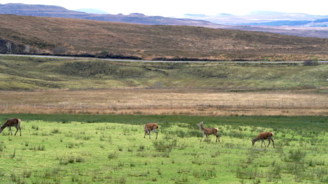 deer on the field with mountain on the background in scotland, england - distant stock videos and b-roll footage