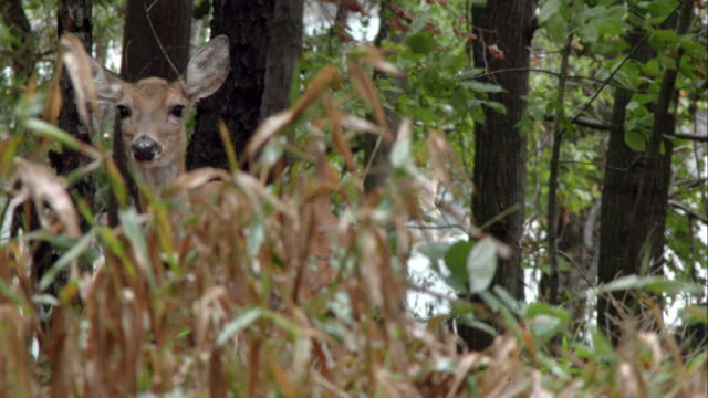 A deer pokes its head out from wooded brush.