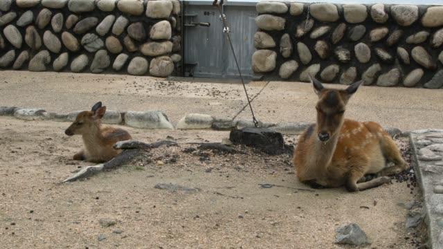 deer resting, japan - bassa marea video stock e b–roll