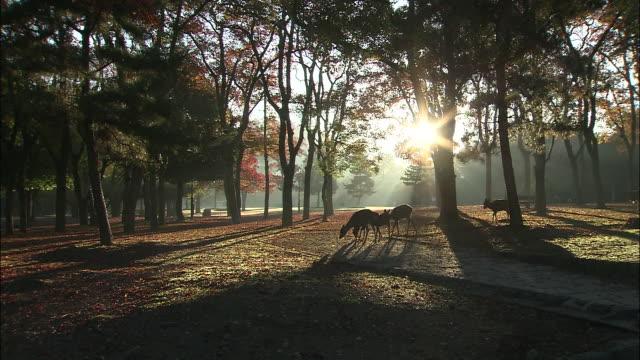 deer roam through nara park in nara city, japan. - nara prefecture stock videos and b-roll footage