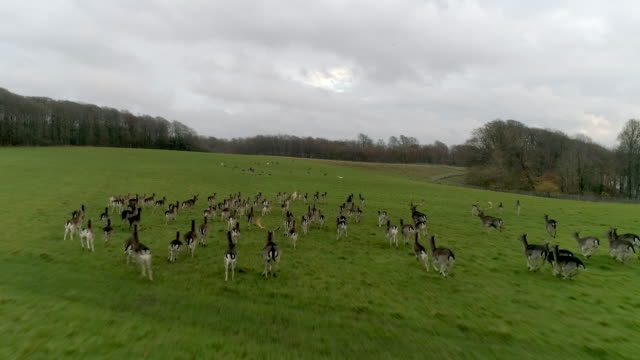 deer running away from drone in denmark - group of animals stock videos & royalty-free footage