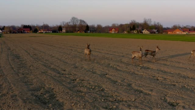 deer running in field at sunset - environment stock videos & royalty-free footage
