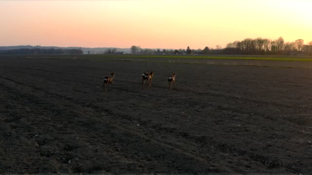 deer running in field at sunset - fawn stock videos & royalty-free footage