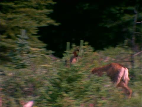 vidéos et rushes de pan deer running + jumping in tall grass near forest - famille du cerf