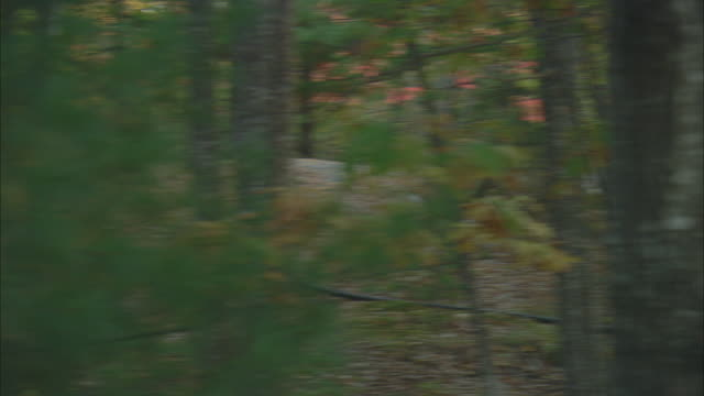 vidéos et rushes de ts deer running through woods and approaching another deer at acadia national park / mount desert island, maine, united states - petit groupe d'animaux