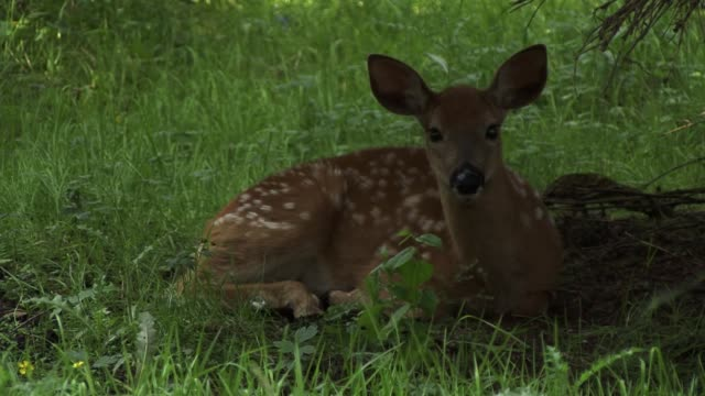 deer sitting eating grass and moving their ears a lot by the flies that are around them - national grassland stock videos & royalty-free footage