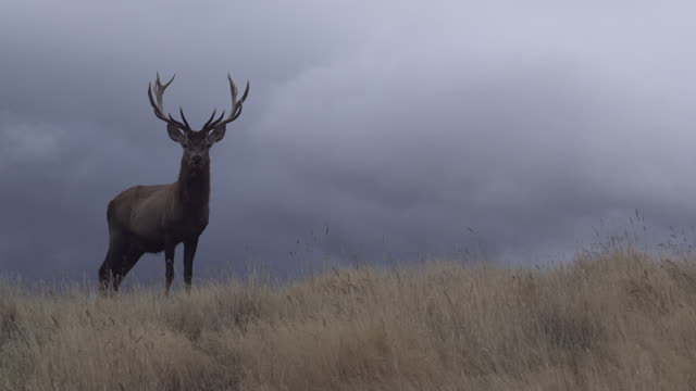 WS Deer standing in tussock grass and walking away, stormy grey clouds in background / South Island, New Zealand