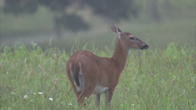 a deer stands in a foggy meadow and munches grass. - doe stock videos & royalty-free footage