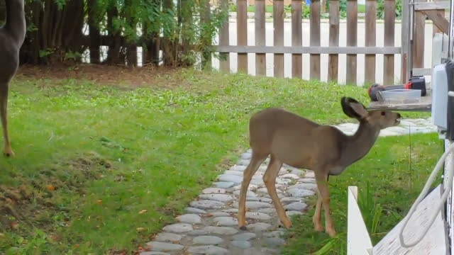 deer teaches her fawn how to pick apples - hooved animal stock videos & royalty-free footage