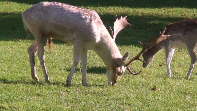 vídeos de stock e filmes b-roll de veado - cinco animais
