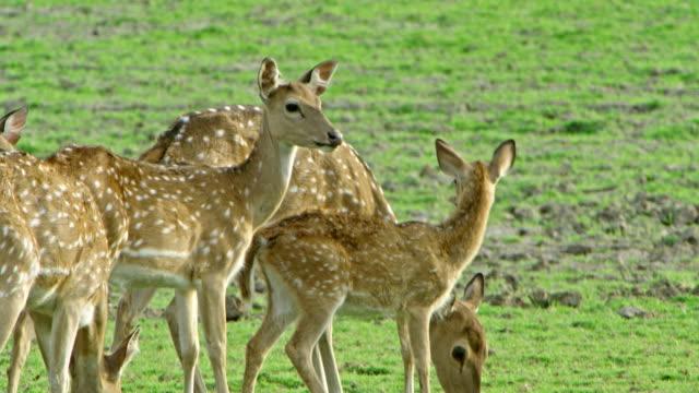deer - deer stock videos & royalty-free footage