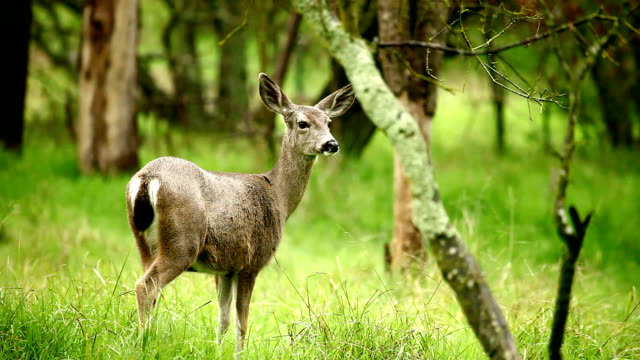 deer - woodland stock videos & royalty-free footage