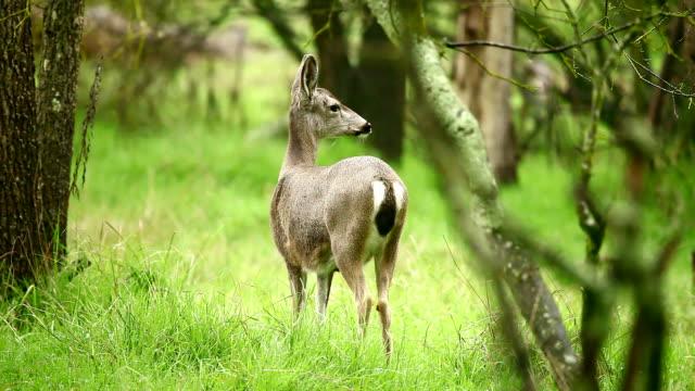 deer - white tailed deer stock videos & royalty-free footage