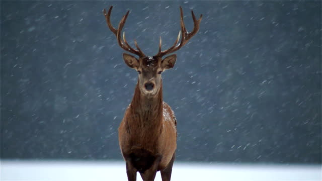 deer - snow stock videos & royalty-free footage