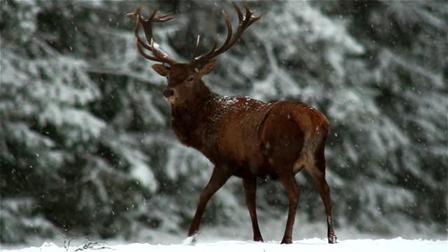 deer - animals hunting stock videos & royalty-free footage