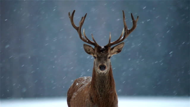 stockvideo's en b-roll-footage met deer - jacht