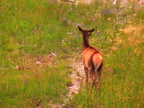 deer - herbivorous stock videos & royalty-free footage