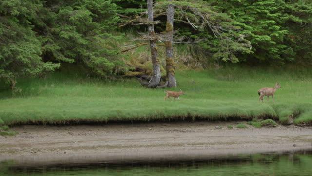 vídeos de stock, filmes e b-roll de deer walking and grazing on river shore - doe