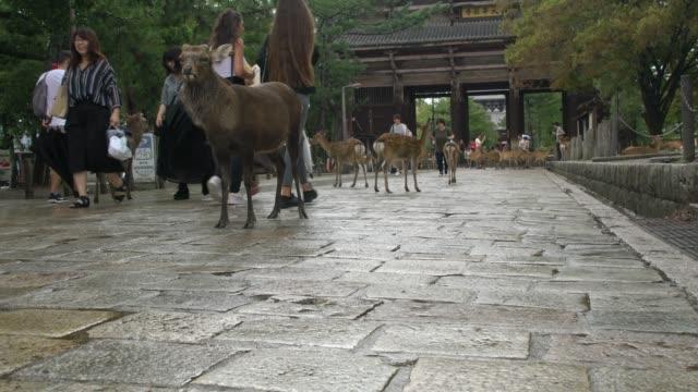 deer walking in front of todai-ji temple in nara, japan - temple building video stock e b–roll