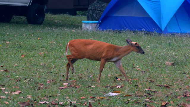 Deer walking in the Khao yai National Park. Thailand