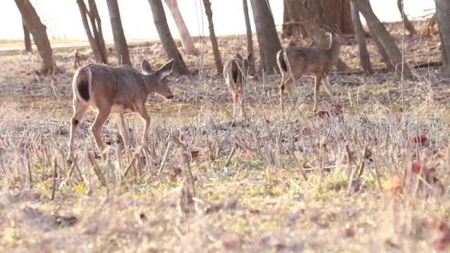 vidéos et rushes de deer walking into woods away from camera - petit groupe d'animaux