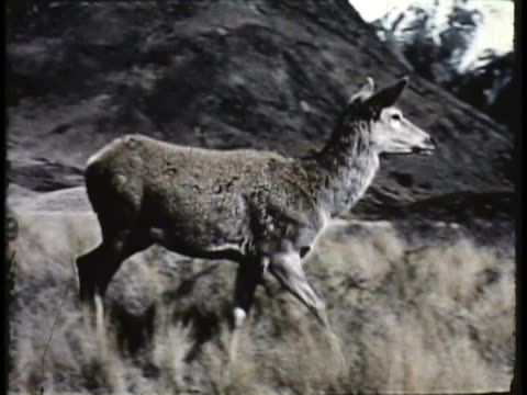 1955 montage ws la ha ms pan deer walking through rugged terrain, man hiking in mountains, deer stag getting up from grass / new zealand / audio - 1955 stock videos & royalty-free footage