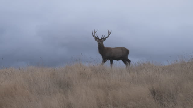 ws deer walking through tussock grass, stormy grey clouds in background / south island, new zealand - hirsch stock-videos und b-roll-filmmaterial