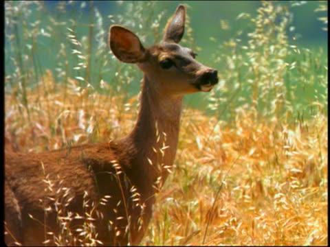 vídeos de stock, filmes e b-roll de deer walking thru tall yellow grass - corça