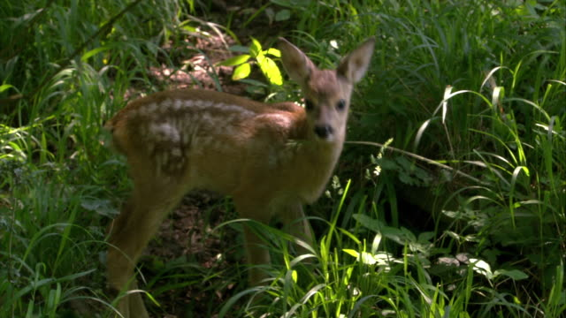 deer with fawn - fawn stock videos & royalty-free footage