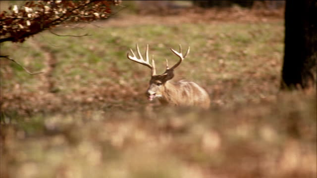 deer with large antler rack walks through a forest of trees. - antler stock videos & royalty-free footage