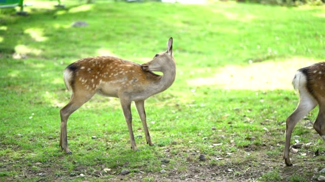 deers at todai-ji temple in nara is the capital city of nara. - nara prefecture stock videos and b-roll footage