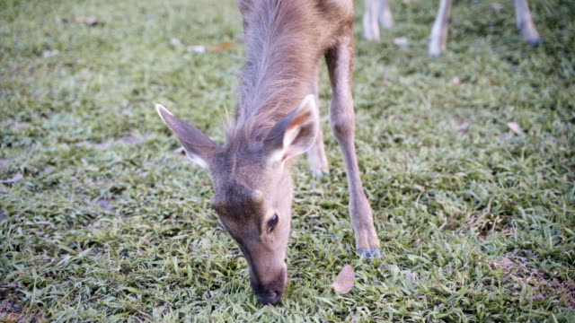 deers feeding and eating grass at the field. - white tailed deer stock videos & royalty-free footage