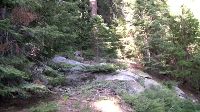hd: deers in a forest - sequoia national park stock videos & royalty-free footage