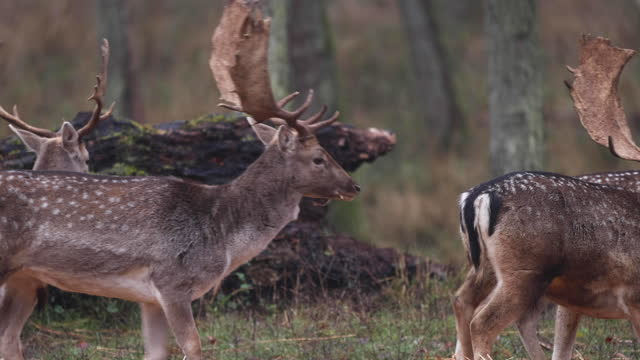 deers in autumn forest - antler stock videos & royalty-free footage