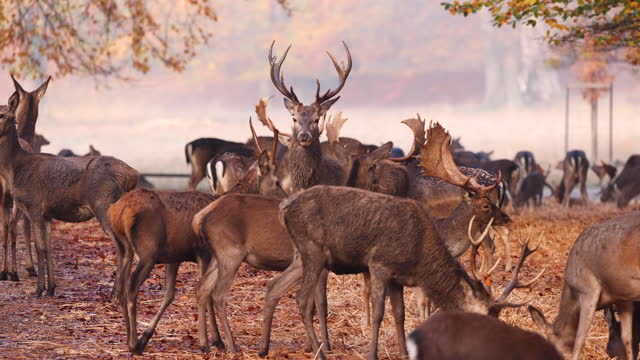 deers in autumn forest - deer stock videos & royalty-free footage