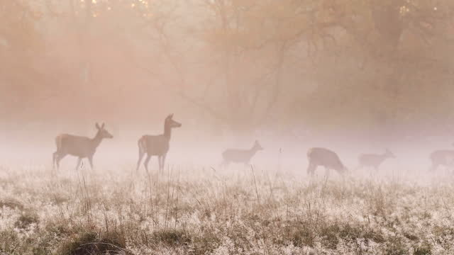 deers in autumn forest - wildlife conservation stock videos & royalty-free footage