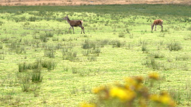 deers on the field in scotland, england - doe stock videos & royalty-free footage