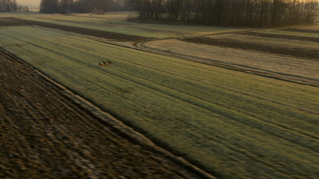 aerial deers running across fields - woodland stock videos & royalty-free footage