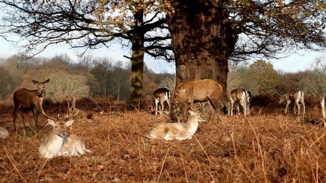 vídeos de stock, filmes e b-roll de deers - corça