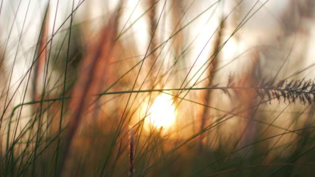 Defocus sunset with Golden grass field sunshine