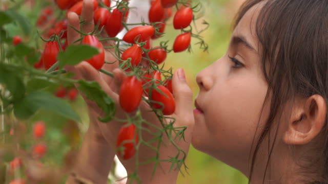 vídeos de stock e filmes b-roll de de-focused for dreamllike style ,young girl smelling fresh tomatoes in oganic farm , gmo food , biofood , alternative ifestyle concept - provar