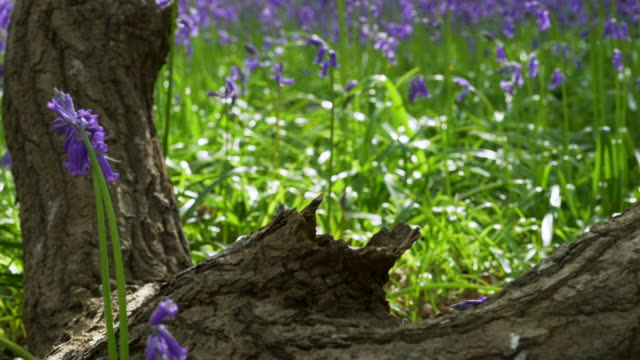 defocussed bluebells and log in woodland - log stock videos & royalty-free footage