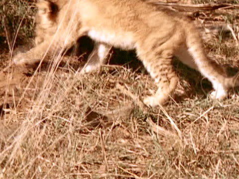 a deformed lion cub as it travels through the brush - deformed stock videos & royalty-free footage