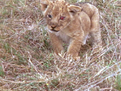 A deformed lion cub walks through the grass and starts to cry
