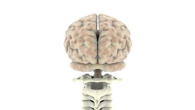 360 degree rotation of the brain after which the camera pans down and zooms out to show the full spinal column. - human vertebra stock videos & royalty-free footage