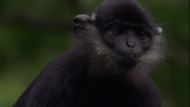 a delacour's langur looks around. available in hd. - bedrohte tierart stock-videos und b-roll-filmmaterial